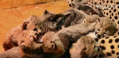 cheetah cubs_1515074716897.JPG.jpg