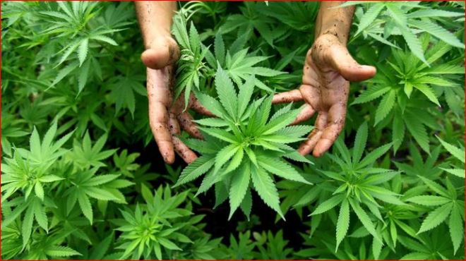 Marijuana_1518819133488.JPG