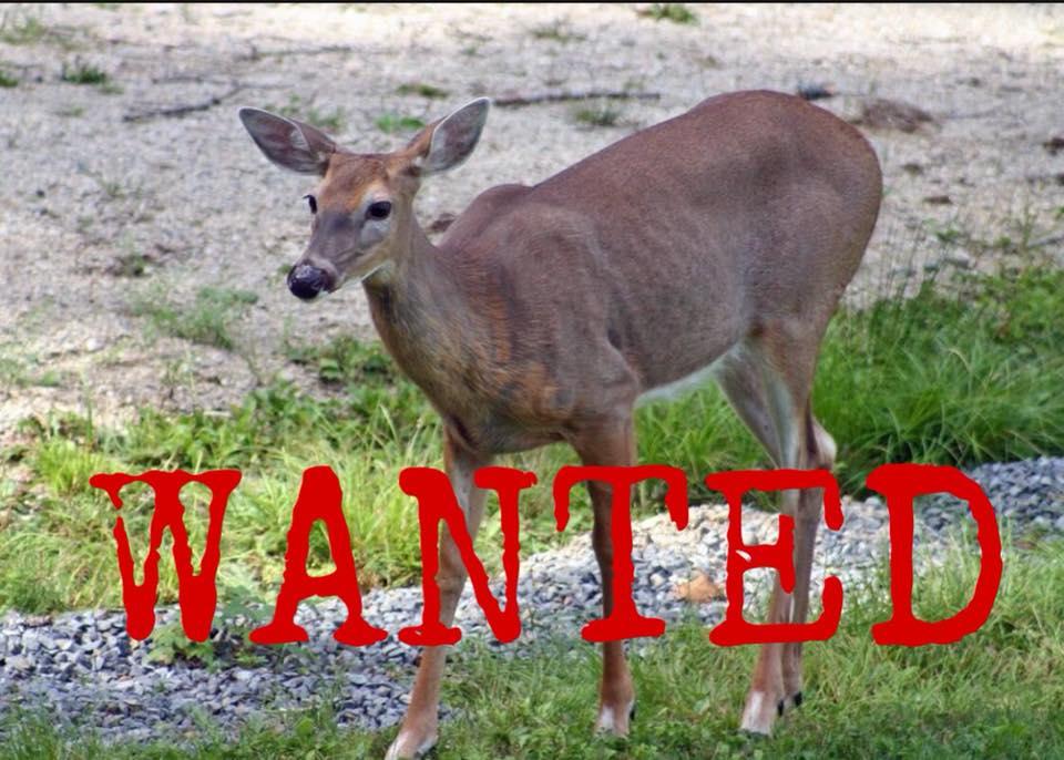 deer invader_1525179570028.jpg.jpg