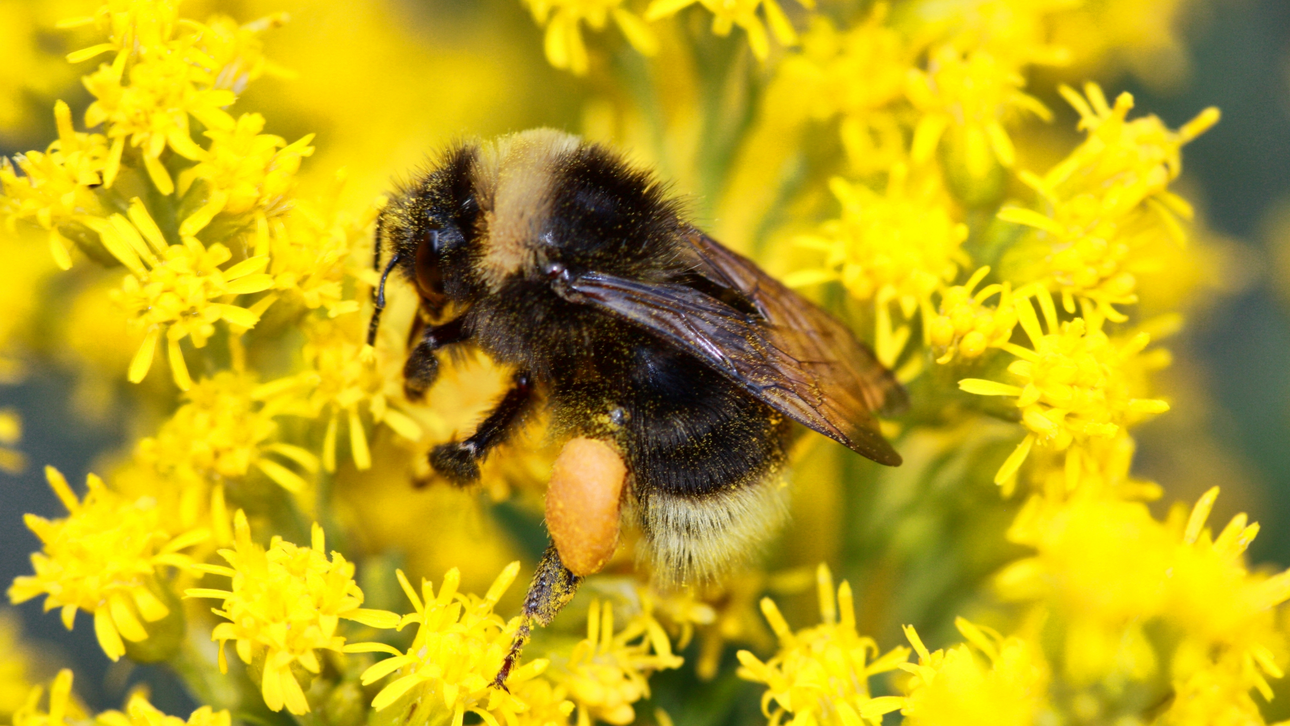 Bumblebee_Survey_69840-159532.jpg11182009