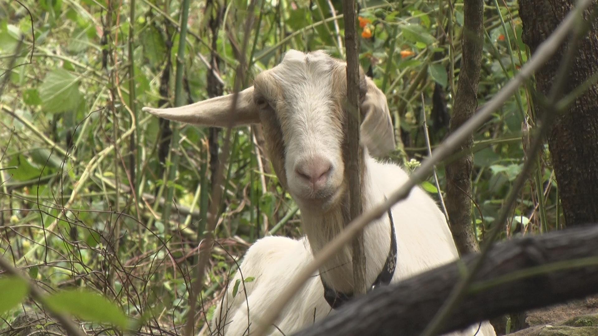 goats_1536702081327.jpg