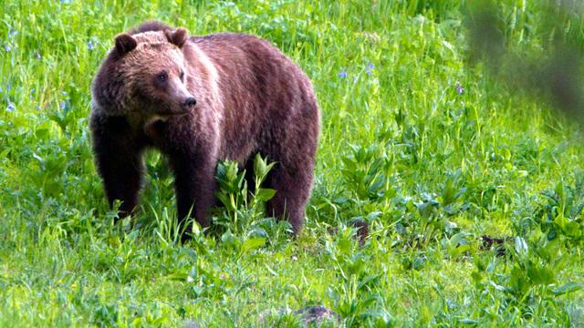 grizzly bear_1537865429417.jpg_56757505_ver1.0_640_360_1538474796240.jpg.jpg