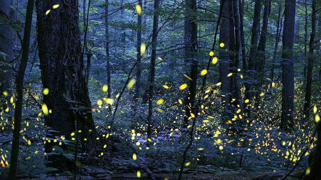 synchronous firefly.jpg